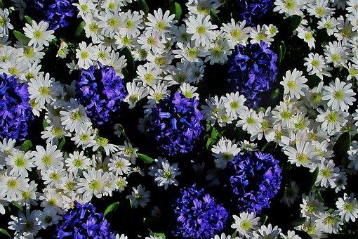 Hyacinth, White Daisy, Bolplant, Keukenhof, Flowers