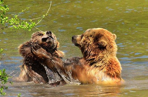 European Brown Bear, Play, Fur, Brown Bear, Nature Park