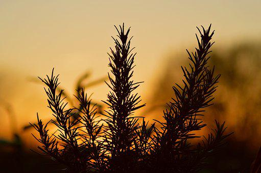 Nature, Tree, Sunset, Dawn, Plant, Rosemary, Bush