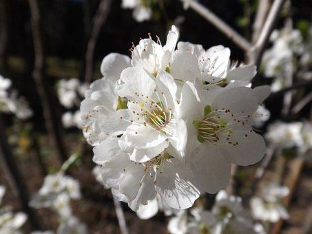 Flower, Tree, Cherry, Plant