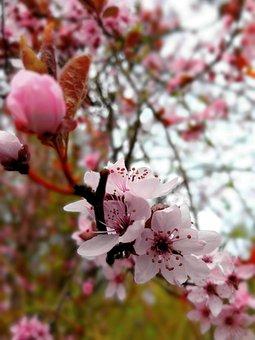 Flower, Nature, Tree, Cherry Wood, Garden, Petal, Leaf