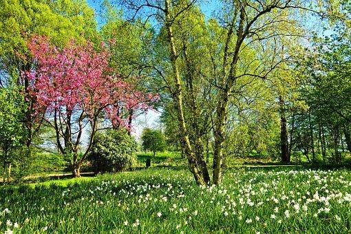 Tree, Birch, Cherry Blossom, Daffodil, Flower, Field