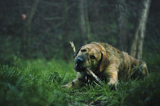 Lawn, Animal, Dog, Palo, Biting, Chewing, Brown, Grass