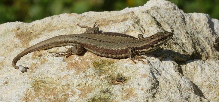 Lizard, Nature, Reptile, Fauna
