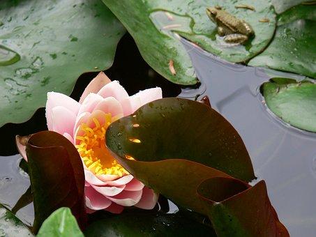 Flower, Mare, Lys, Plant