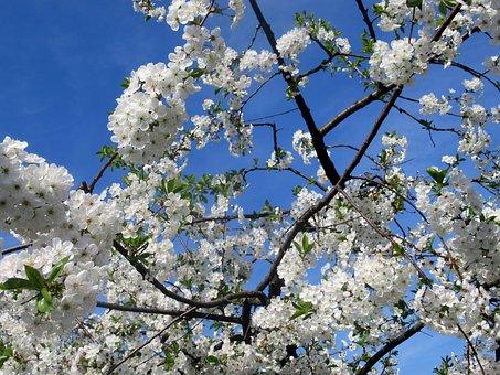 Sour Cherry, Wood, Flower, Branch