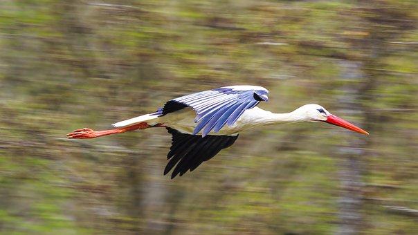 Stork, Fly, Rattle Stork, Nature Conservation, Bird