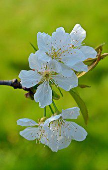 Cherry Blossom, Blossom, Bloom, Fruit, Plant, Nature