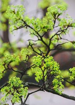 Nature, Leaf, Plant, Tree, Growth, Maple, Blossom