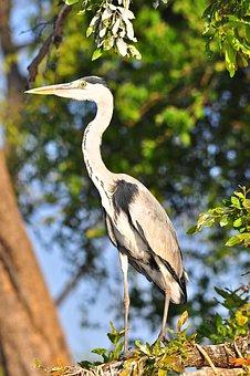 Nature, Bird, Wildlife, Tree, Heron