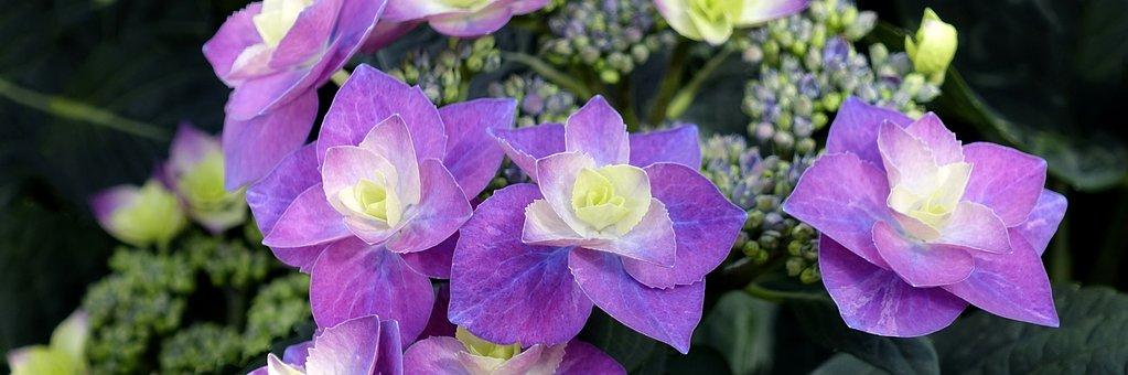 Hydrangea, Flower, Blossom, Bloom
