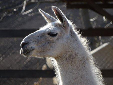 Lama, Animal, Zoo, Pets, White, Mammal