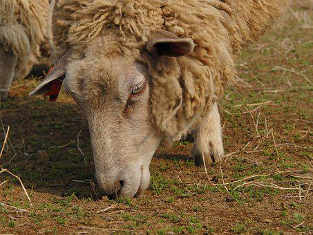 Mammal, Animal, Sheep, Grass