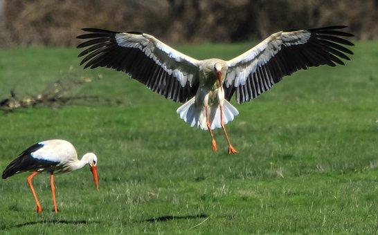 Spain, Madrid, Manzanares, White Stork, Birding