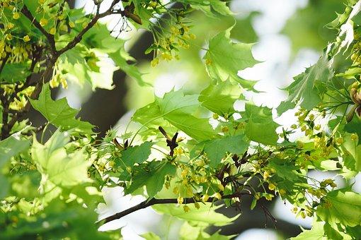 Leaf, Nature, Growth, Plant, Tree, Maple, Blossom