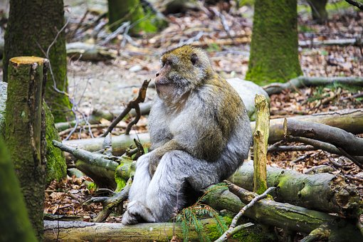 Barbary Ape, Monkey, Relax, Chill Out, Wood, Nature
