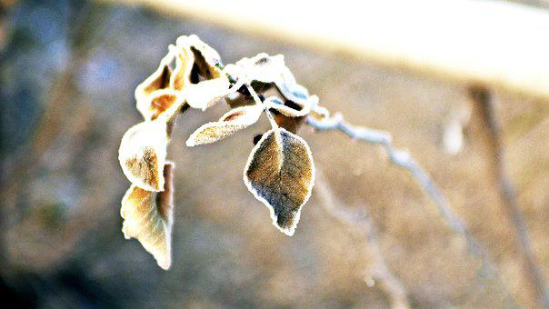 Frost, The Leaves, Winter, Nature, Native