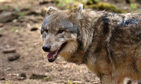 Wolf, Wild Animal, Predator, Pack Animal, Carnivores
