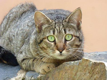 Cat, Feline Look, Stalking, Animalia, Pet, Nice