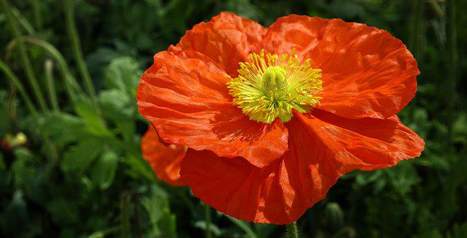 Klatschmohn, Flowers, Poppy, Red