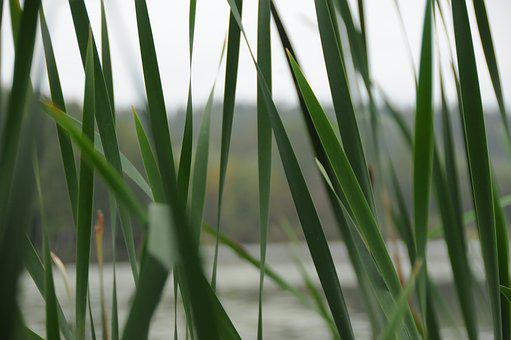 Plant, No One, Grass, Nature, Leaf, Reed, Close-up