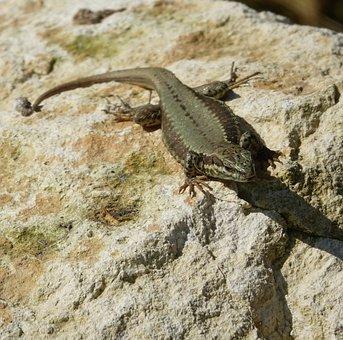 Lizard, Reptile, Nature, Fauna