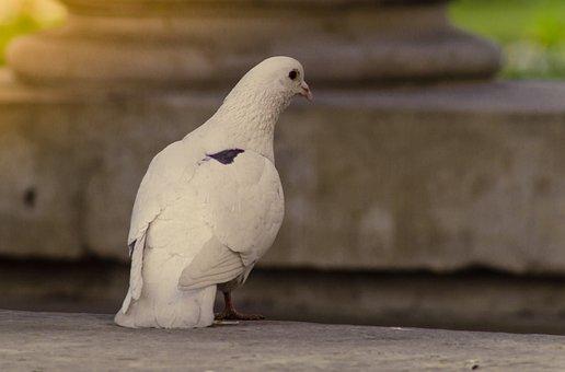Dove, White, Bird, Room, Black Dot, Birds, Nature