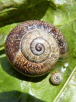Snail, Nature, Seafood, Exoskeleton