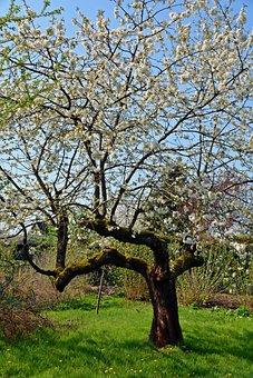Cherry, Tree, Season, Nature, Landscape, Of Course