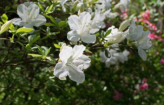 White Azalea, Azalea, Flower, Blossom, Bloom, Shrub