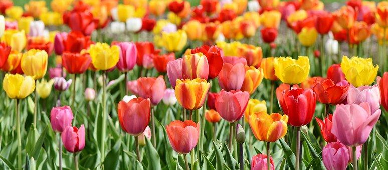 Tulips, Tulip Field, Tulpenbluete