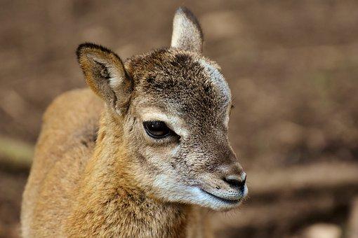 Mouflon, Young Animal, Aries, Wild Animal