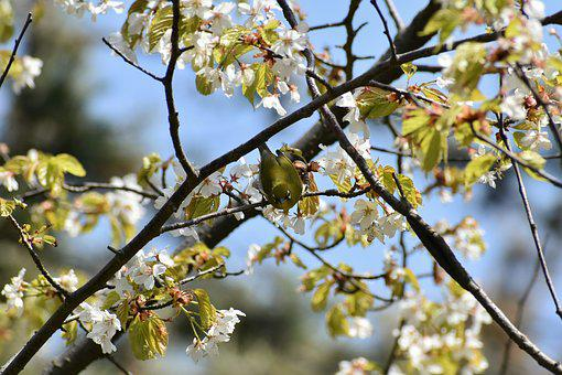 Natural, Landscape, Plant, Wood, Cherry, Flowers, Bird