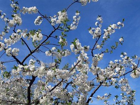 Wood, Sour Cherry, Flower, Branch