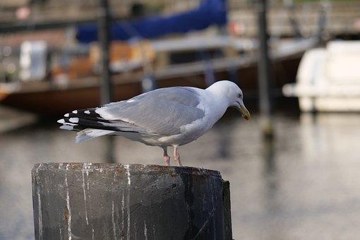 Bird, Gull, Water, Animal, Waterfowl, Warnemünde