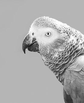 African Grey Parrot, Parrot, Bird, African, Grey, Gray