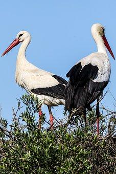 Spain, Huelva, Doñana, White Stork, Birding, Stork