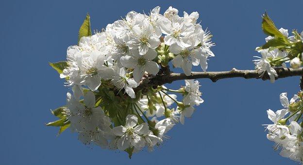 Blossom, Bloom, Blue Sky, Cherry