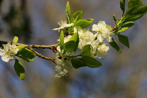 Plum Blossom, Blossom, Bloom, Plum Tree Flowers