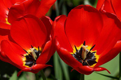 Tulips, Red, Blossom, Bloom, Two, Open, Stamp, Flower