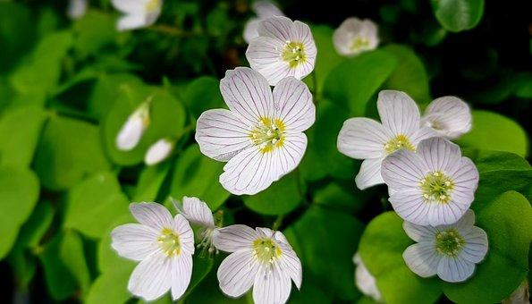 Klee, Sorrel, Common Wood Sorrel, Blossom, Bloom