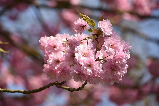 Flower, Cherry, Branch, Tree, Plant, Japan Cherry Tree