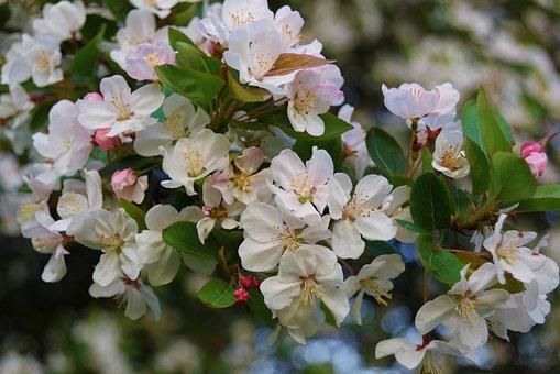 Flowers, White, Flora, Petal, Nature, Garden, Branch