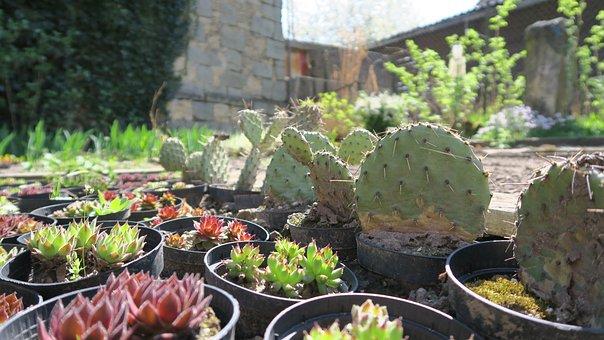 Cactus, Garden, Sun