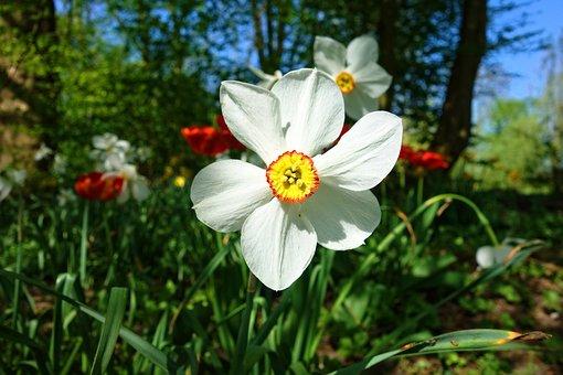 Daffodil, Flower, Plant, Bulbous, Spring Flower