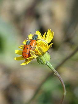 Beetle Meloideo, False Ladybird, Insect Breeding