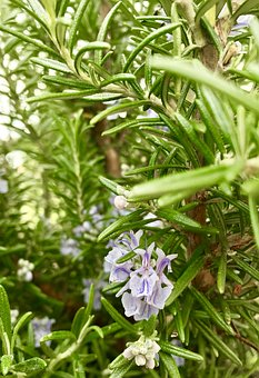 Rosemary, Herb, Cooking, Garden, Flora, Nature, Leaf