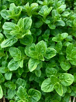 Oregano, Herb, Garden, Cooking, Kitchen, Leaf, Spice