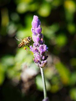 Honey Bee, Flower, Nature, Bee, Purple, Plant, Lavender