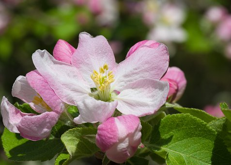 Flower, Nature, Plant, Garden, Leaf, Apple Blossom